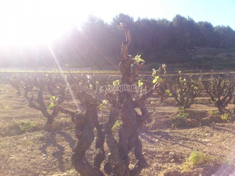 春季的Penedés葡萄园