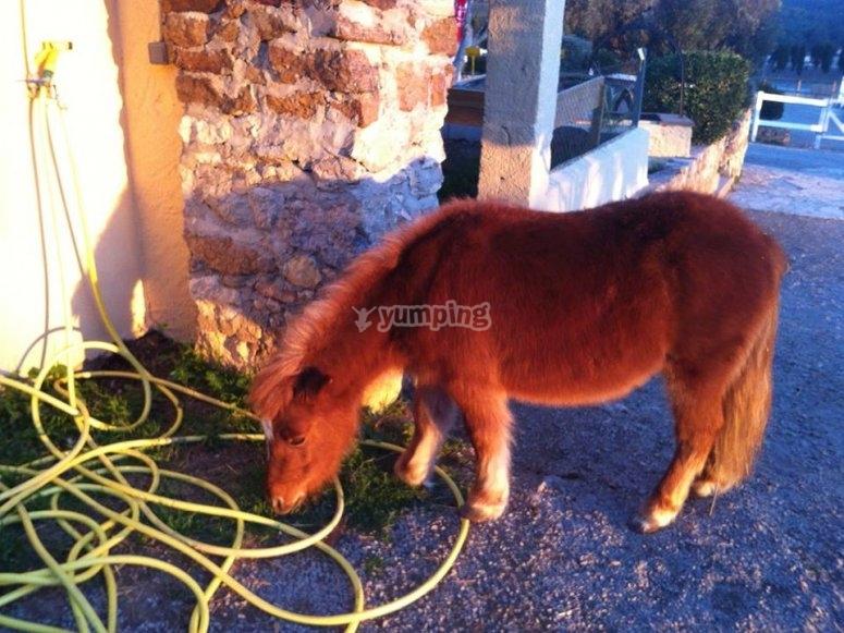 El pony nala