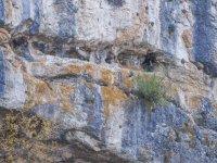 Buitre en el muro de roca