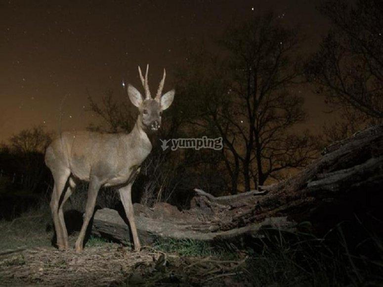 A deer at night