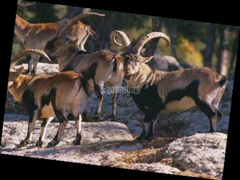 cabra hispanica