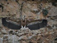 赏鸟在塞戈维亚秃鹰看
