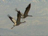 Cranes on daimiel boards