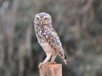 Owl in the field of calatrava