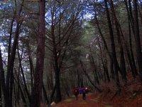 traversant une forêt de pins dense
