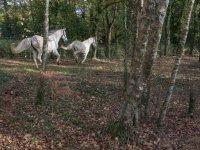 Horses among the trees in Coruna