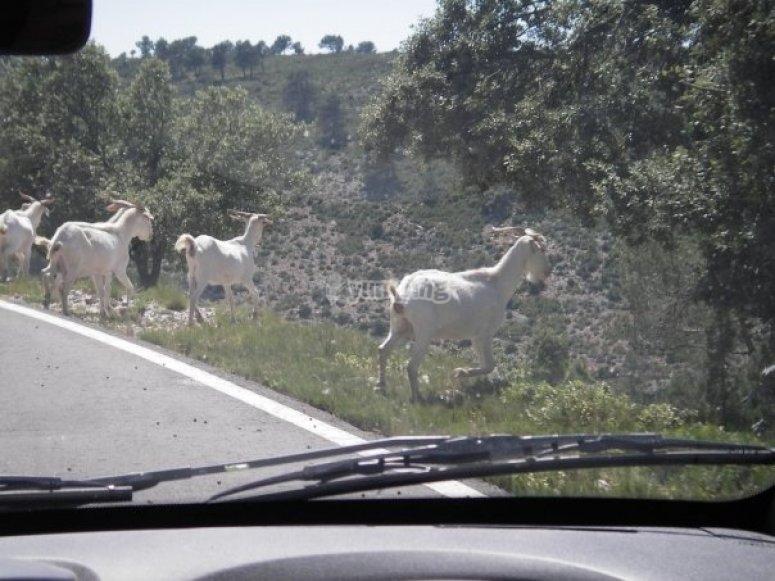 Cabras salvajes