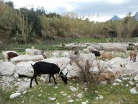 Observando las cabras