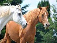 dos caballos blanco y marron