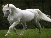White equine