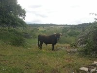 One of the Valdemorillo cattle