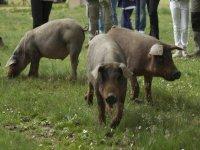 Ruta cerdo iberico