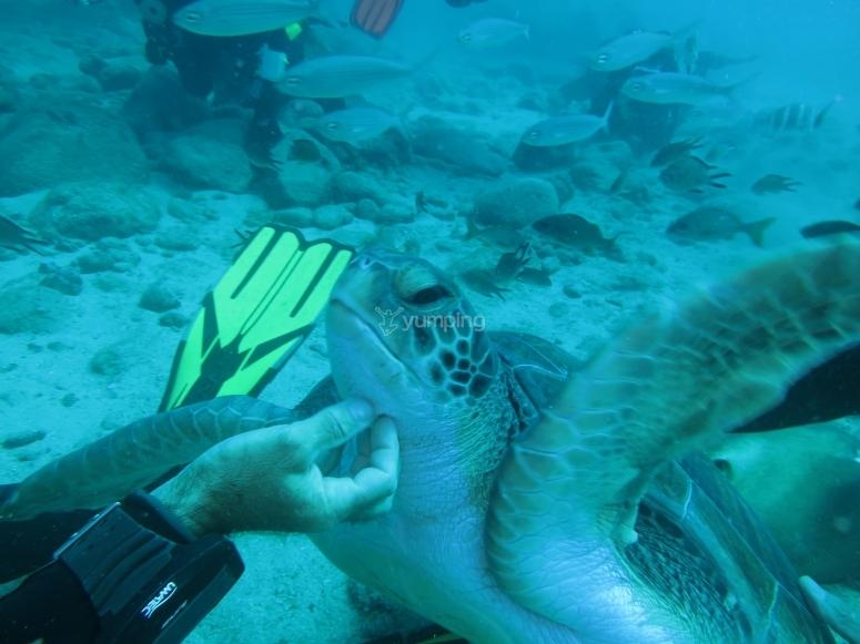 在友好的海龟中潜水