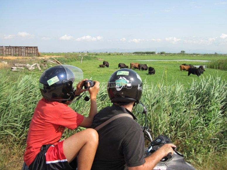 在四轮摩托车看着公牛
