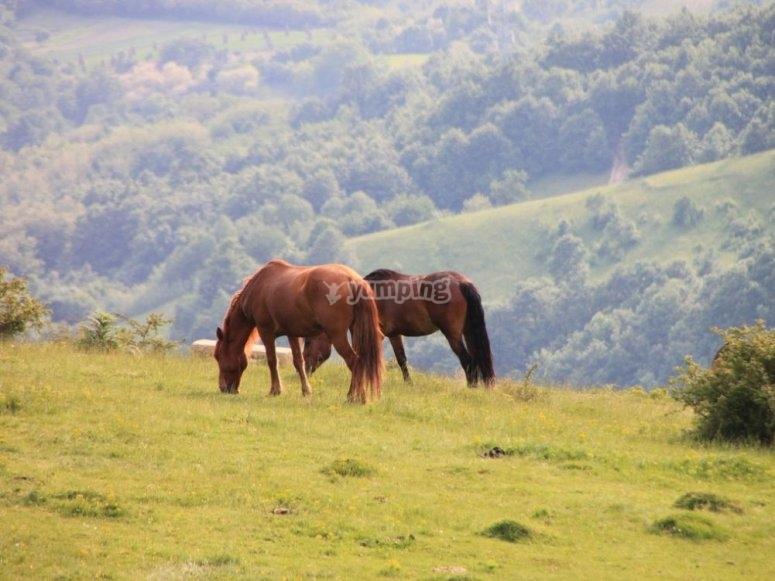 Cavalli che mangiano insieme