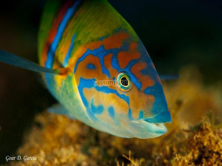 pez guelde verde