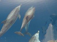 Banca dei delfini nell'Atlantico