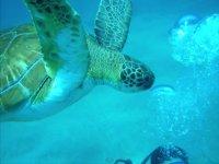 海龟之间的Bucenaod