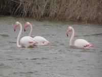 Flamencos disfrutando de las aguas de Punta Entinas-Sabinar