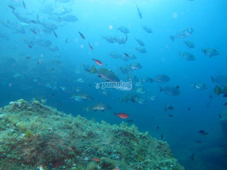 School of mojarra fishes