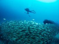 Nadando entre miles de peces