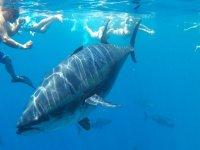 巨型金枪鱼