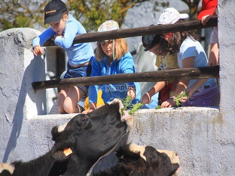 Alimentando a vacas de la granja escuela