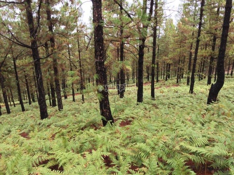 Pinewood trees