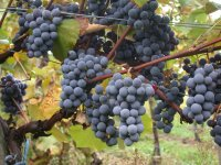 Grapes in ripening