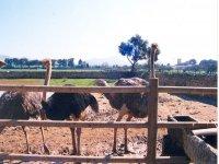 Meet the ostriches