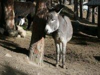 Andorran donkey