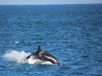 avvistamento di orca