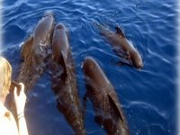 avvistamento di cetacei, delfini