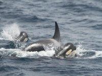 gruppo di orche