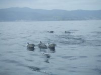 Dolphins swimming in Suances