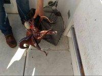 Freshly caught octopus