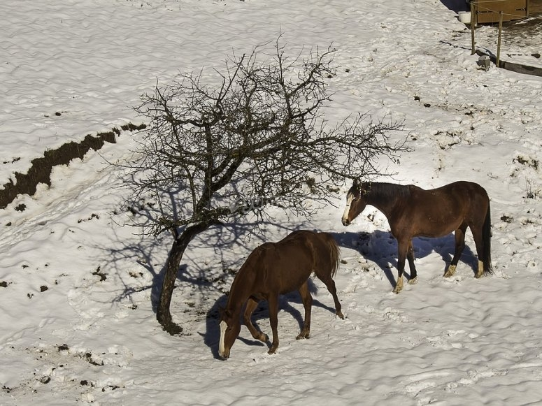 Horses resting on the snow