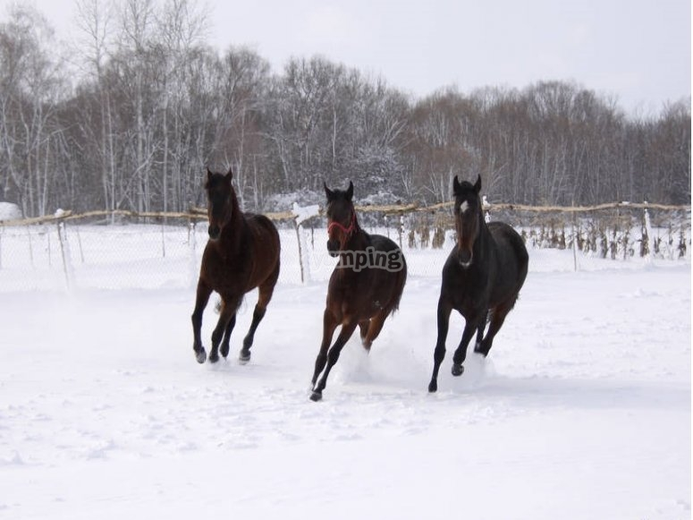 Galloping on the snow
