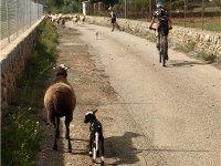 在山羊之间骑自行车