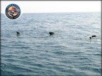 Branchi di delfini