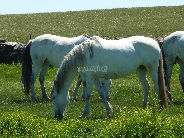 Cavalli nel prato