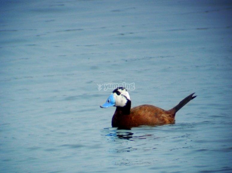 Pato con pico azul