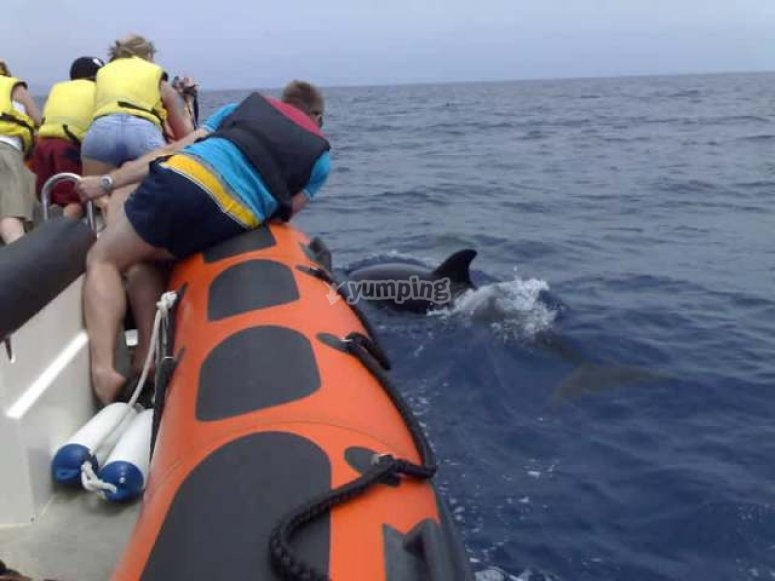 Cetaceos看着从船上海豚