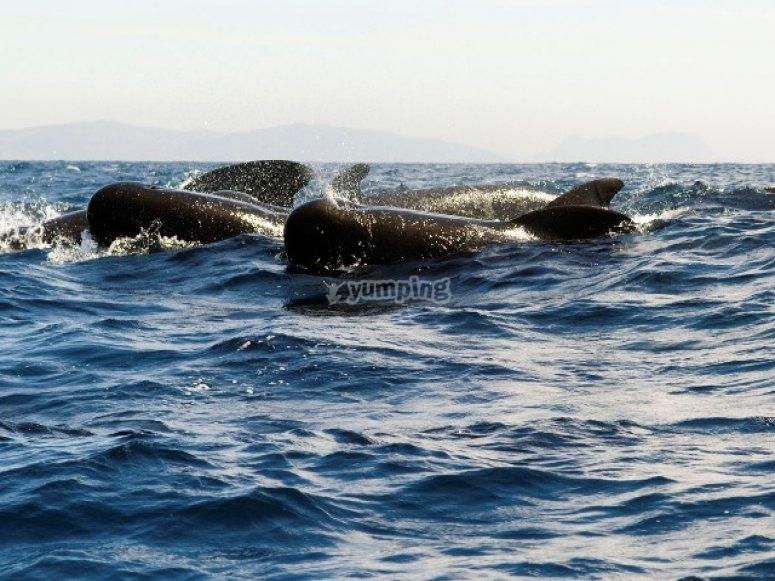 查看cetaceos