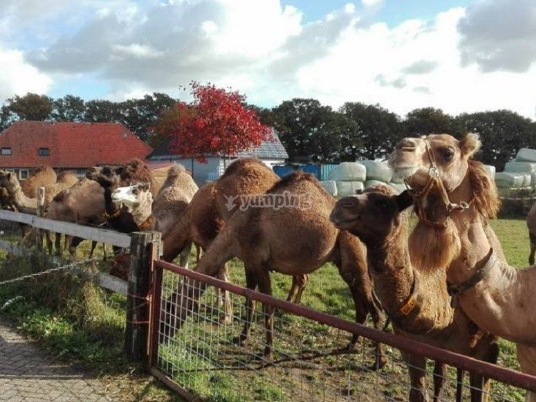 骆驼在篱笆后面