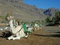 骆驼躺在阳光下
