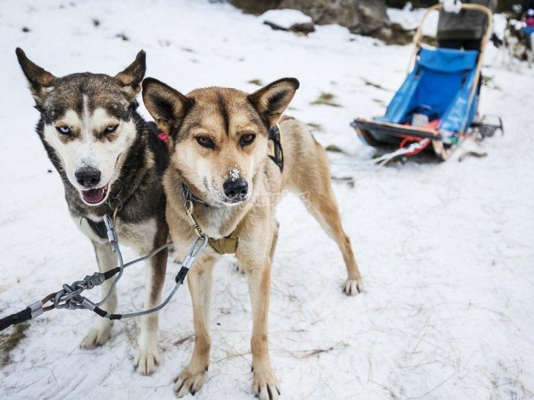 Perros de nieve para mushing