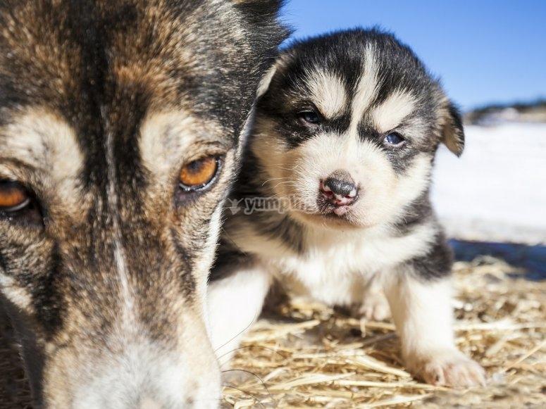 Cachorrito de perro de nieve