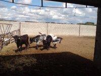 Nuestras vaquillas
