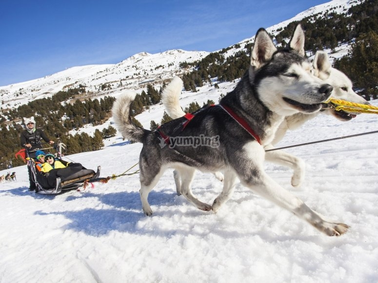 Mushing dogs